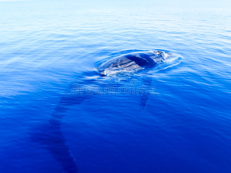 Baleia de humpback submersa no oceano azul profundo imagem de stock royalty free