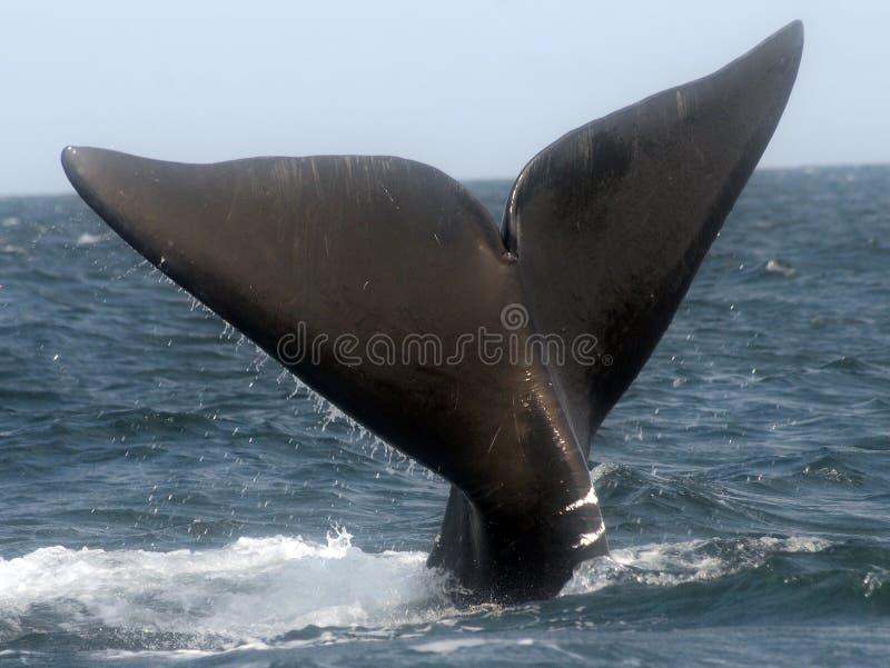 Baleia direita do Atlântico Norte fotografia de stock royalty free