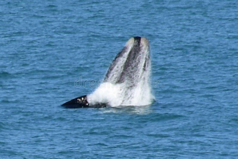 Baleia direita do sul masculina, Hermanus, África do Sul foto de stock