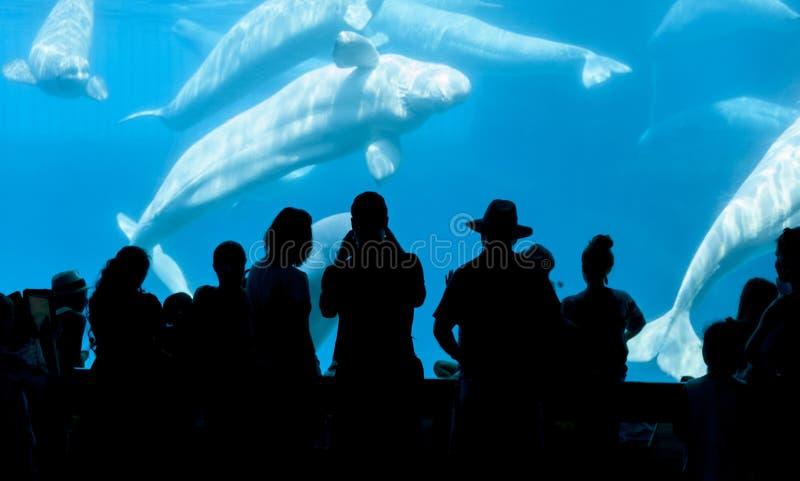 Baleia dos povos e da beluga imagens de stock
