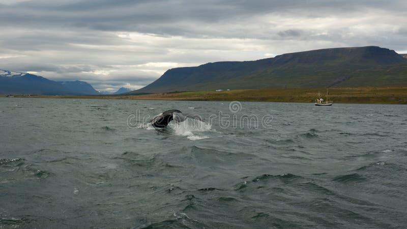 Baleia no fundo da paisagem islandêsa foto de stock royalty free