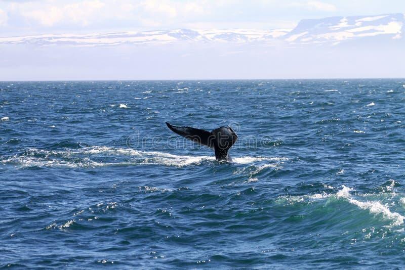 Baleia perto de Islândia imagem de stock royalty free