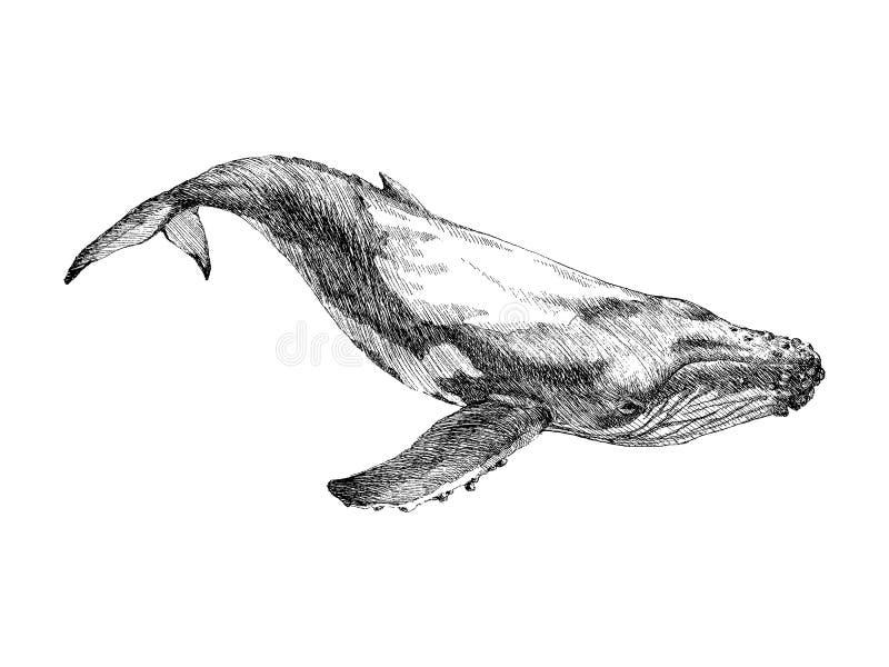 Baleia pintado à mão gráfica isolada no fundo branco Ilustração do vetor Baleia de esperma e baleia de corcunda ilustração do vetor