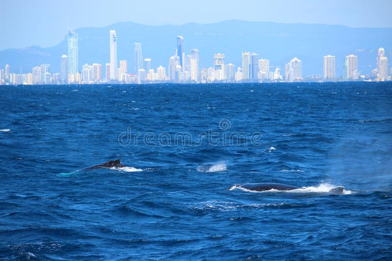 Baleia que olha no Gold Coast fotos de stock royalty free