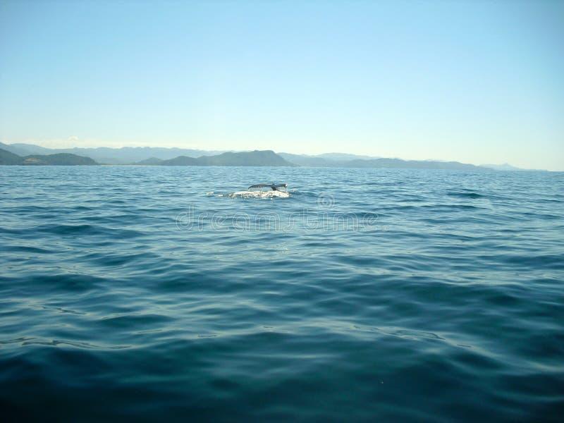Baleia que retira sua cauda da água imagem de stock