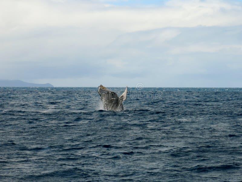 A baleia que salta no oceano fotografia de stock royalty free