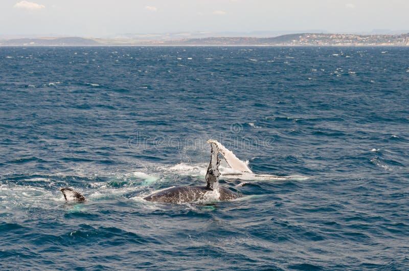 baleias fotografia de stock