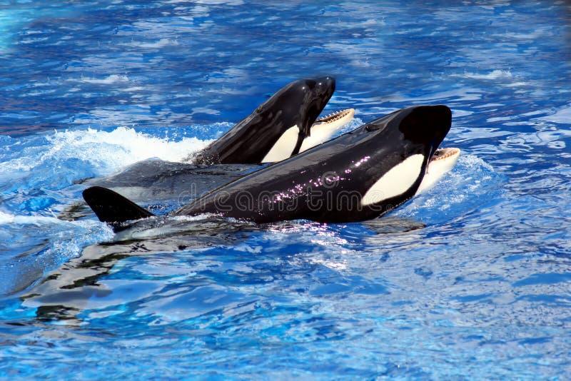 Baleias Da Natação Fotos de Stock Royalty Free