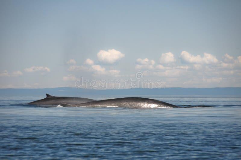 Baleias de aleta, St Lawrence River, Quebeque (Canadá) imagem de stock royalty free