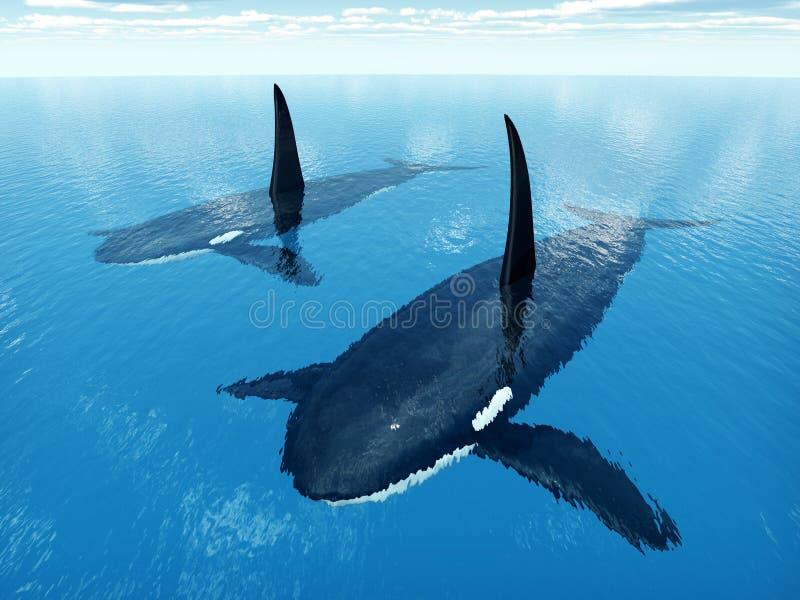 Baleias de assassino ilustração do vetor
