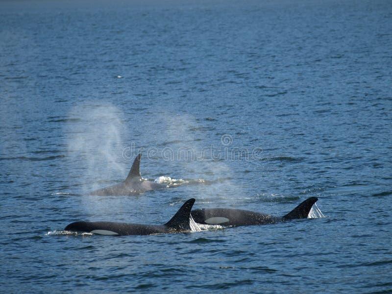 Baleias de assassino. fotos de stock
