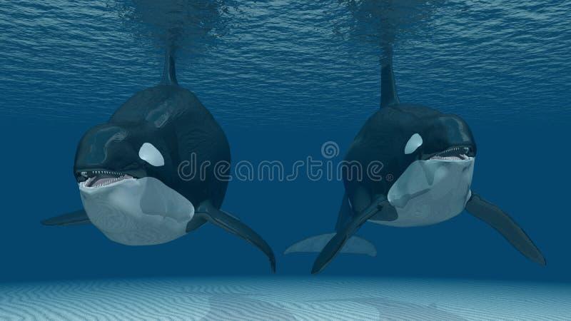 Baleias de assassino ilustração stock