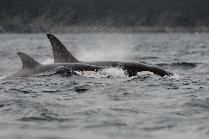Baleias de assassino da orca fotografia de stock royalty free