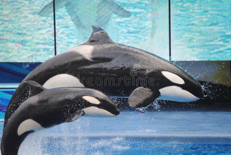 Baleias de assassino em SeaWorld fotografia de stock royalty free