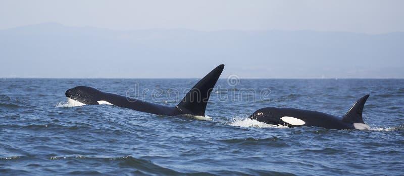 Baleias de assassino transientes foto de stock