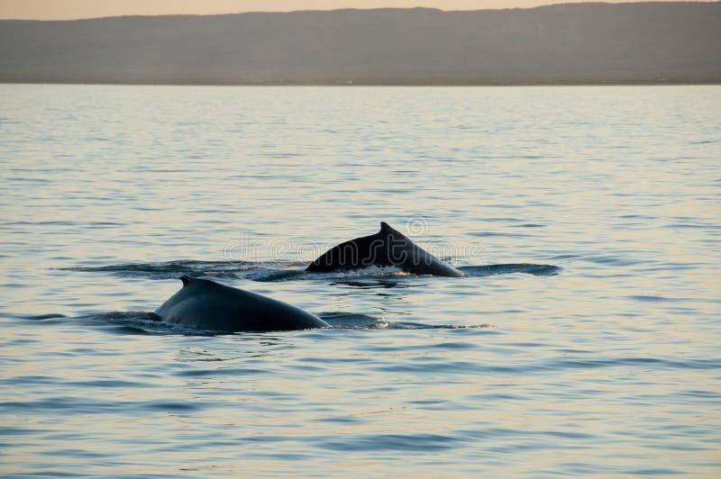 Baleias de corcunda foto de stock