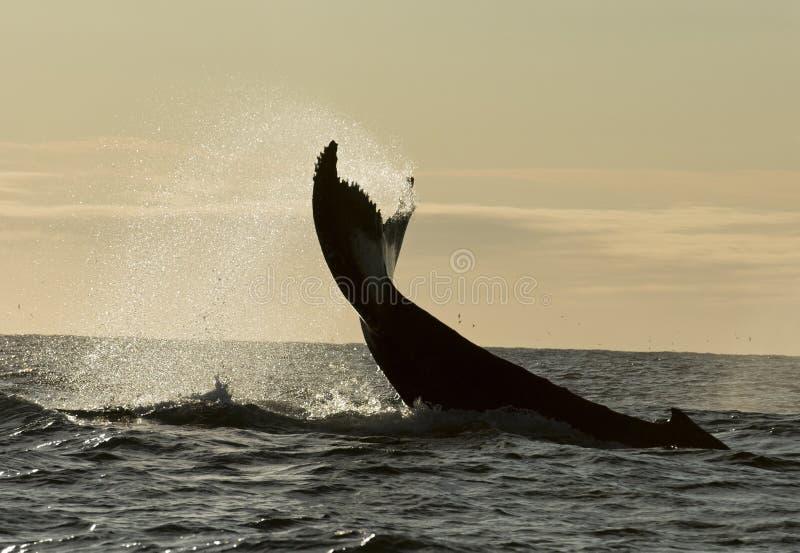Baleias de corcunda fotografia de stock