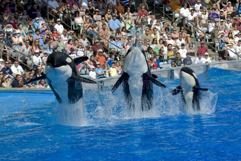 Baleias e bebê de assassino de Shamu
