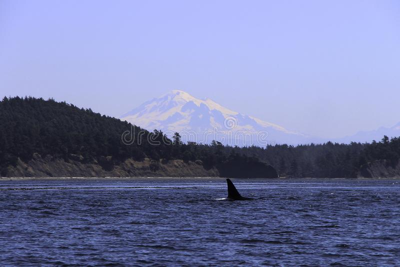 Baleias que spoting na ilha Washington da orca imagens de stock royalty free