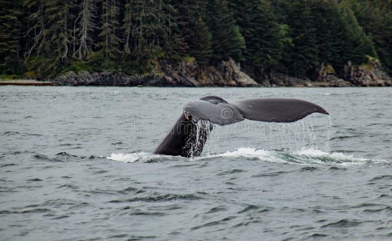 Baleine à bosse de plongée photographie stock libre de droits