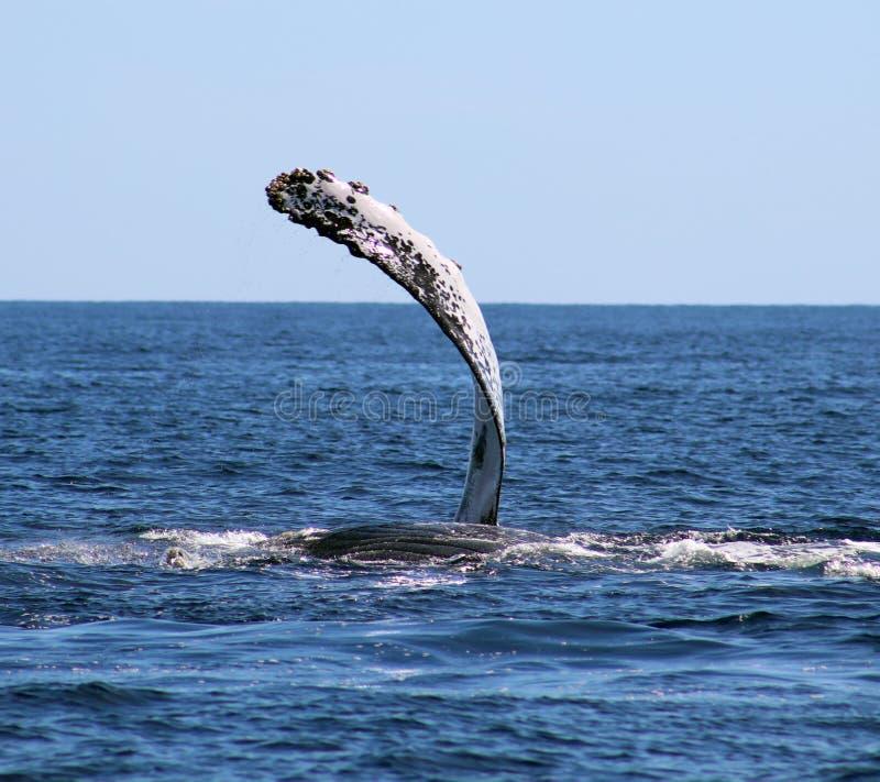 Baleine à l'excellente vue de Los Cabos Mexique de la famille des baleines à l'océan pacifique image libre de droits