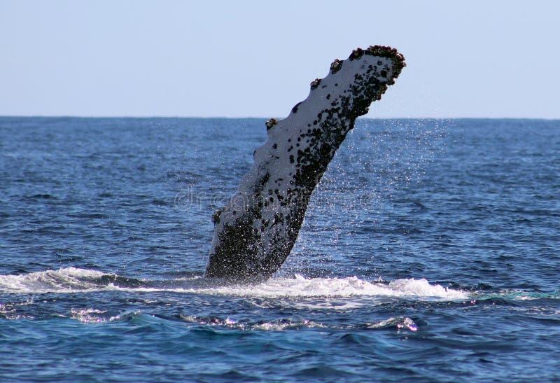 Baleine à l'excellente vue de Los Cabos Mexique de la famille des baleines à l'océan pacifique photo libre de droits