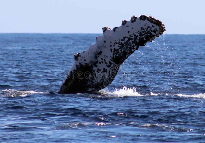 Baleine à l'excellente vue de Los Cabos Mexique de la famille des baleines à l'océan pacifique images stock