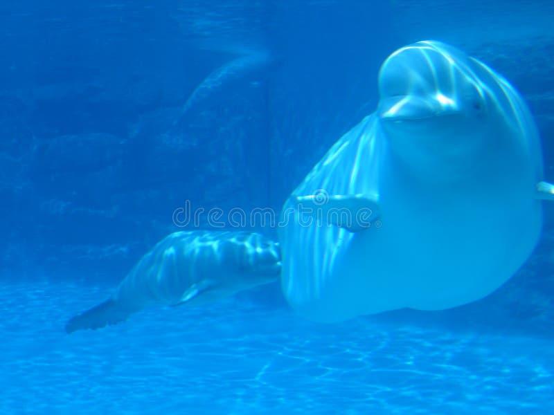 Baleine blanche photo stock