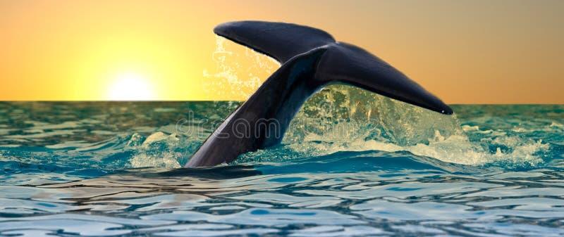 baleine d'arrière de coucher du soleil de tueur image libre de droits
