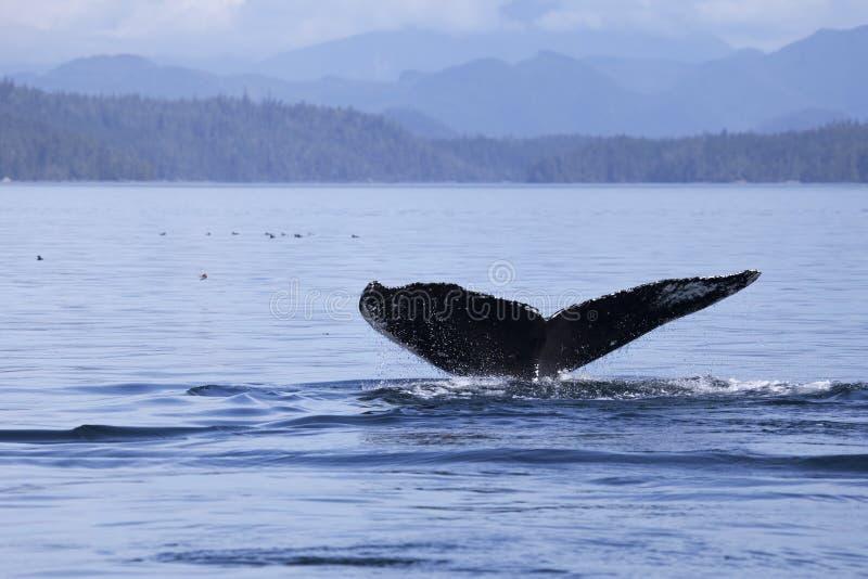 Baleine d'une queue images libres de droits