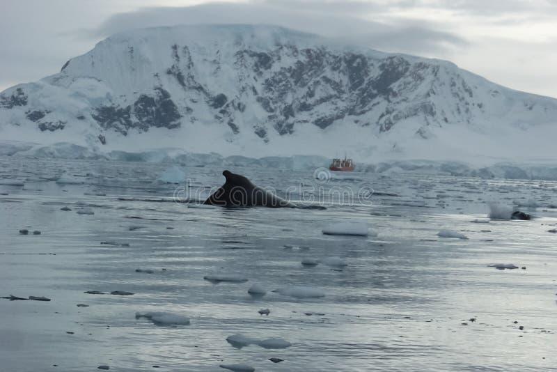 baleine dans les eaux de l'ANTARCTIQUE images libres de droits