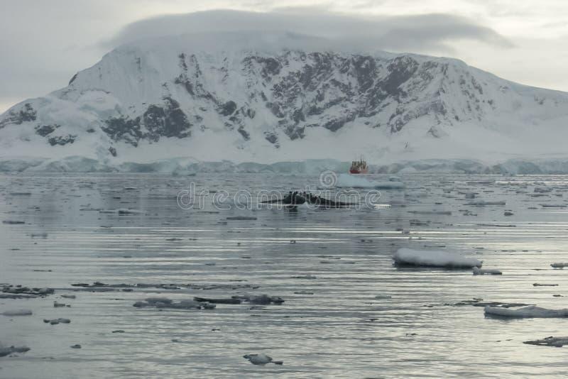 baleine dans les eaux de l'ANTARCTIQUE image stock