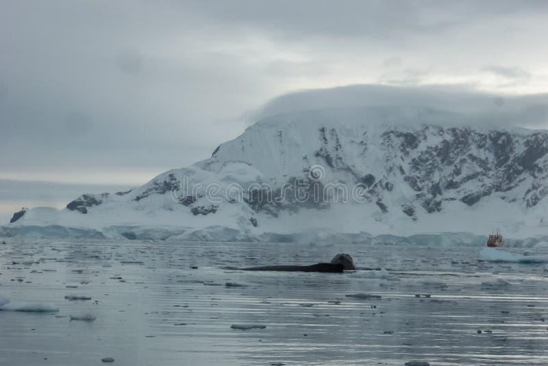 baleine dans les eaux de l'ANTARCTIQUE photographie stock libre de droits
