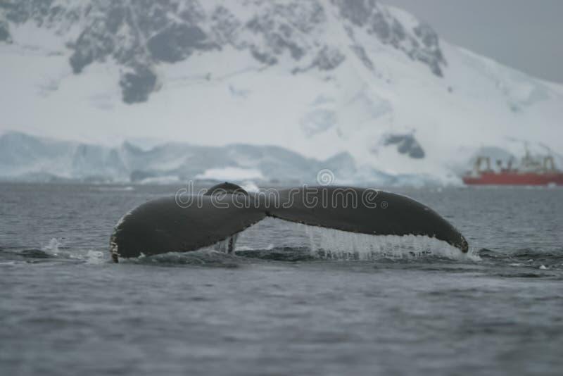 baleine dans les eaux de l'ANTARCTIQUE image libre de droits