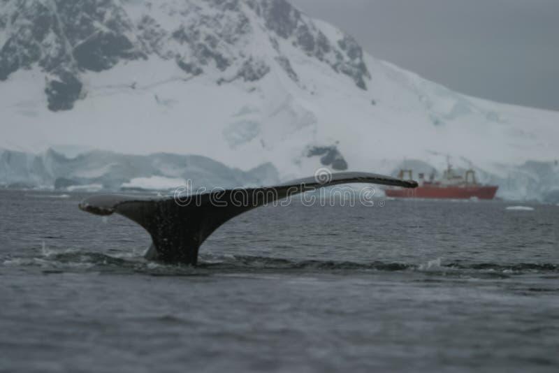 baleine dans les eaux de l'ANTARCTIQUE photo libre de droits