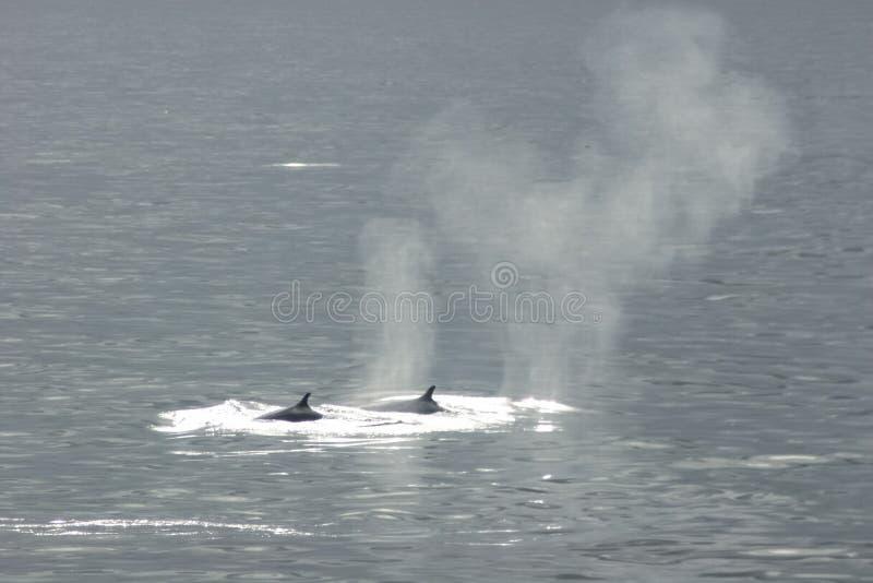 baleine dans les eaux de l'ANTARCTIQUE photos libres de droits