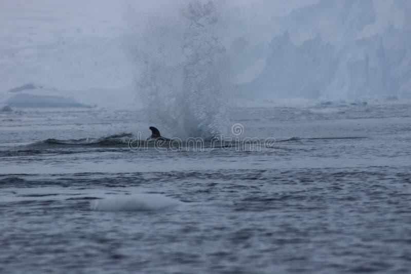 baleine dans les eaux de l'ANTARCTIQUE photos stock