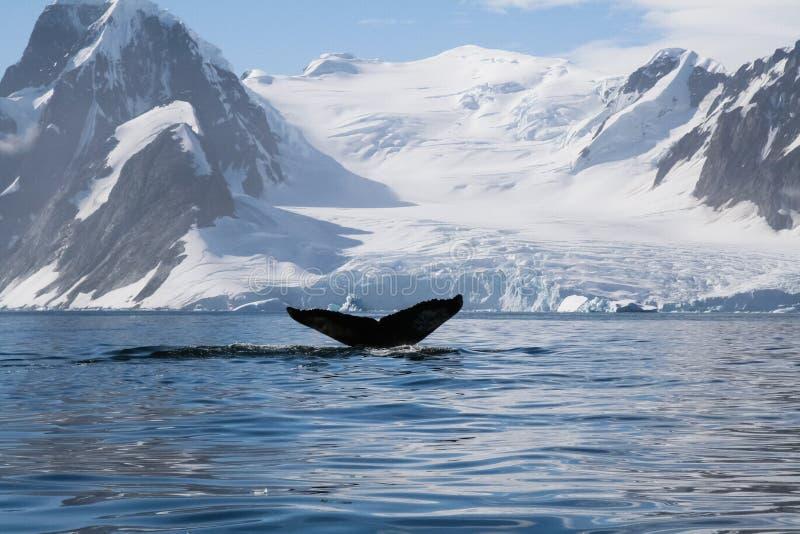 baleine dans les eaux de l'ANTARCTIQUE photographie stock