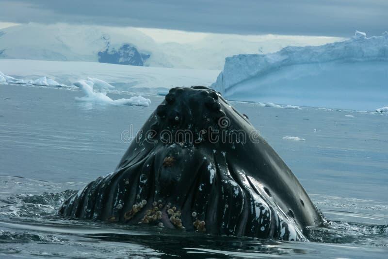 baleine dans les eaux de l'ANTARCTIQUE photo stock