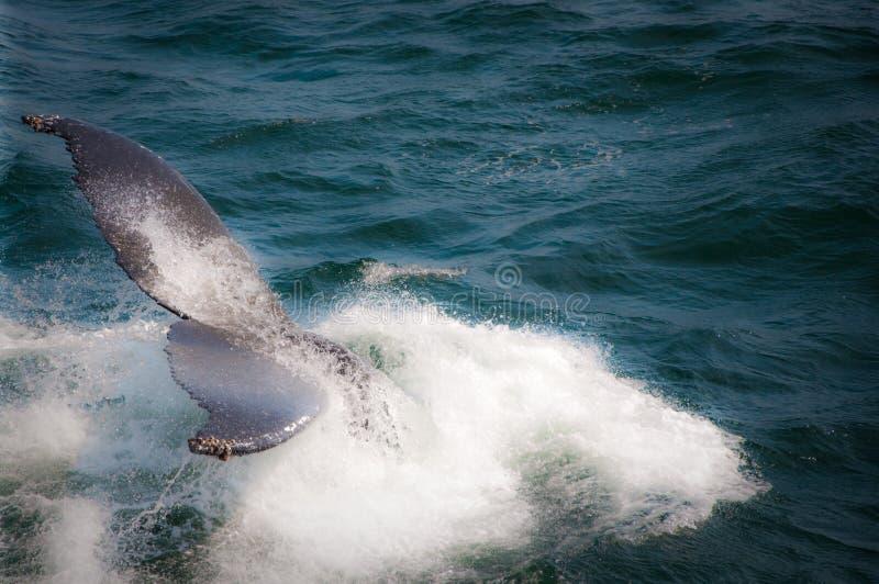 Baleine de bosse photo libre de droits
