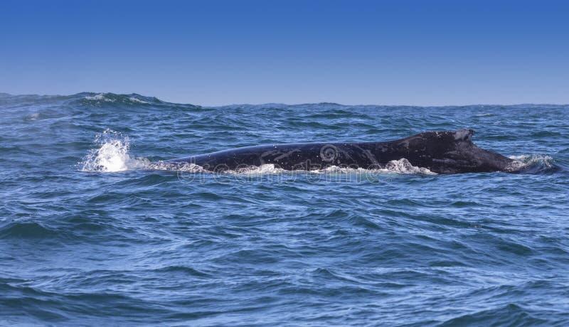 Baleine de bosse photo stock