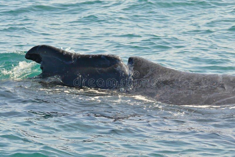 Baleine de bosse avec des dommages d'appui vertical photo libre de droits