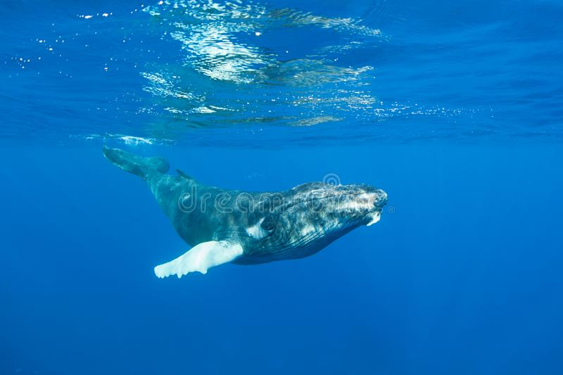 Baleine de bosse dans l'eau bleue photographie stock libre de droits