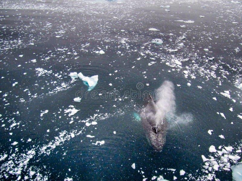 Baleine de bosse en Antarctique images libres de droits