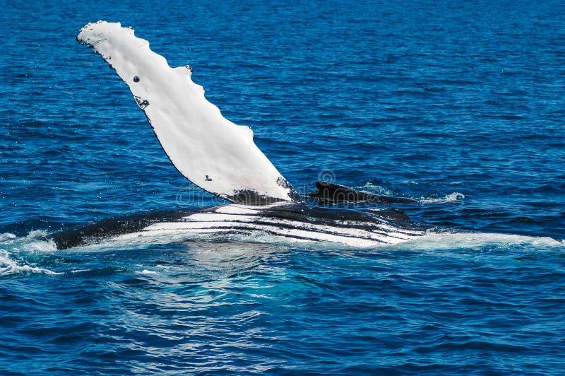 Baleine de bosse (novaeangliae de Megaptera), Australie images stock