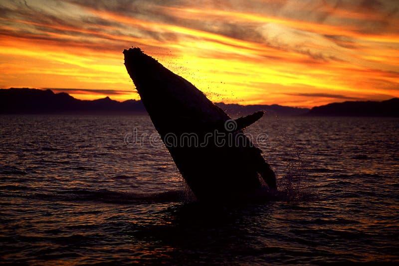 Baleine de bosse ouvrant une brèche au coucher du soleil (novaeangliae de Megaptera), aile du nez images stock
