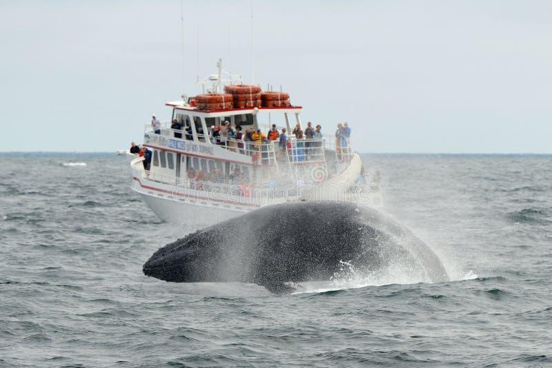 Baleine de bosse ouvrant une brèche, Cape Cod, le Massachusetts photos libres de droits