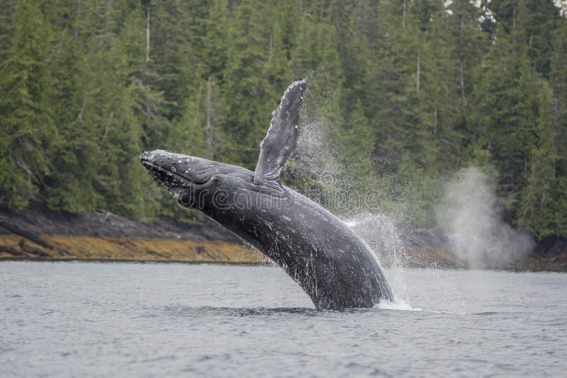 Baleine de bosse ouvrant une brèche en mer chez Craig, Alaska image libre de droits