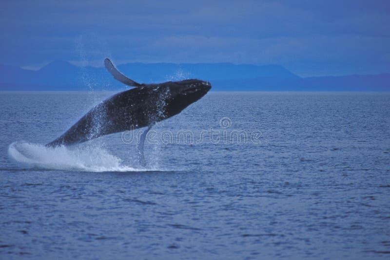 Baleine de bosse ouvrant une brèche l'eau. photos libres de droits