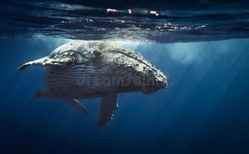 Baleine de bosse - Reunion Island 2104 photos stock
